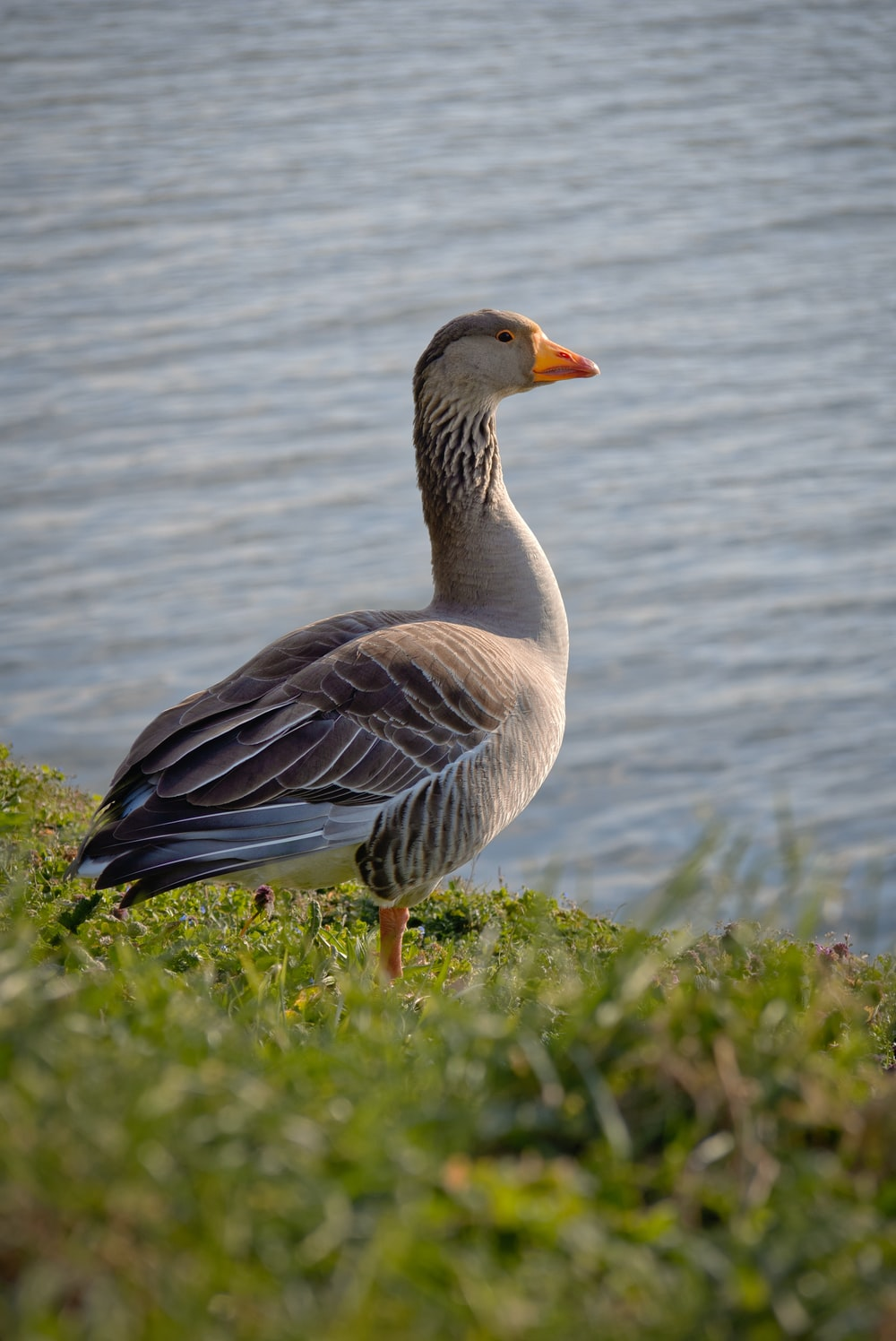 brown and white duck on green grass field near body of water during daytime