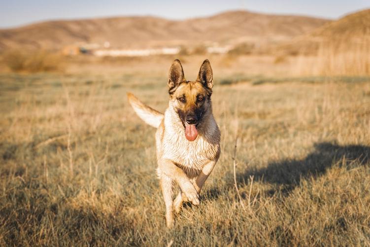 German Shepherd Vs Dalmatian : Physical Fitness