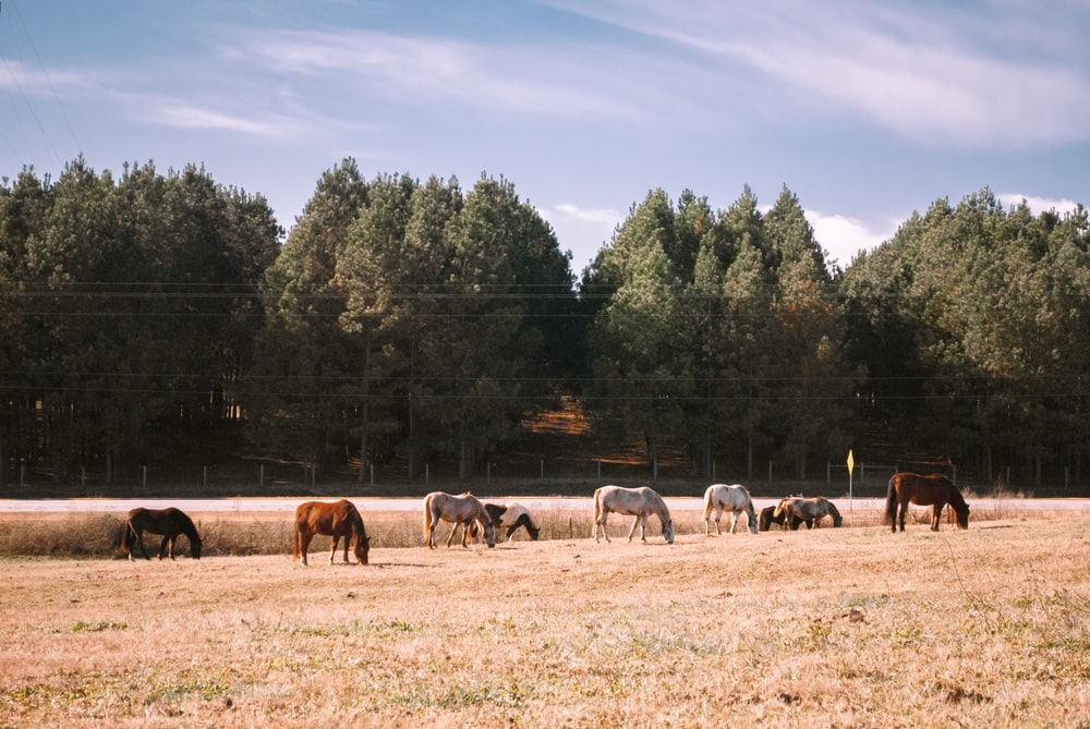 horses on brown grass field during daytime