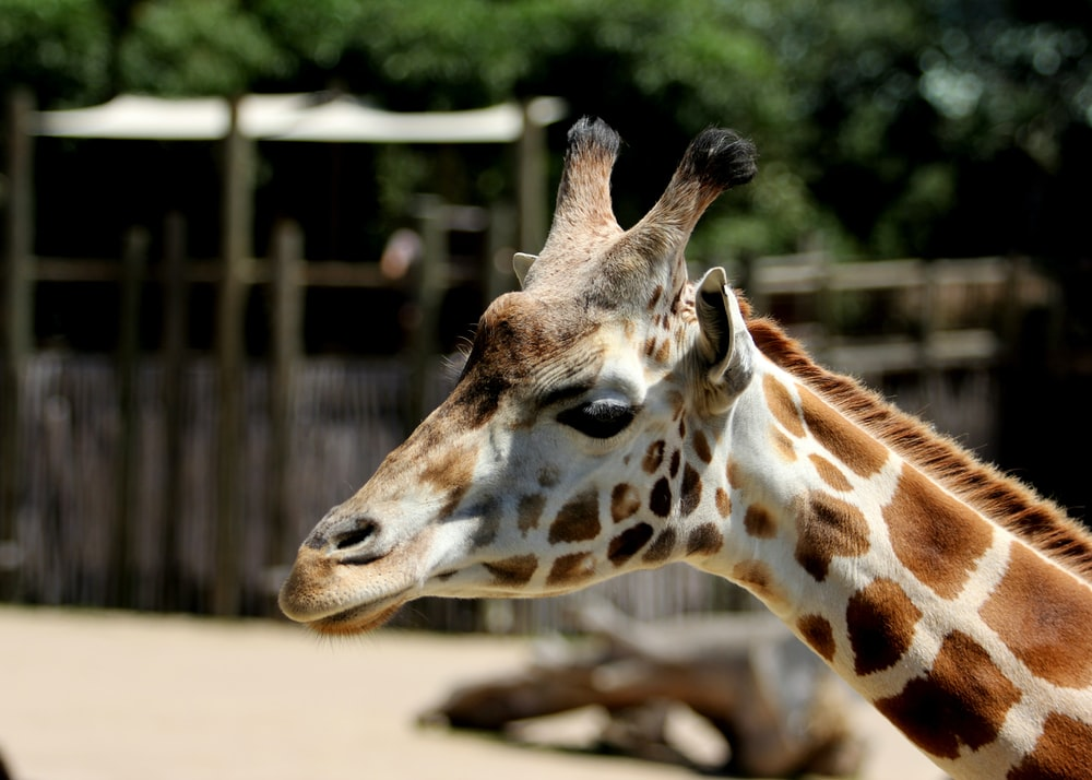 brown and white giraffe in cage