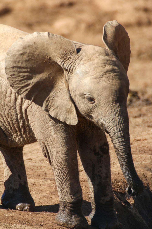 grey elephant walking on brown soil during daytime