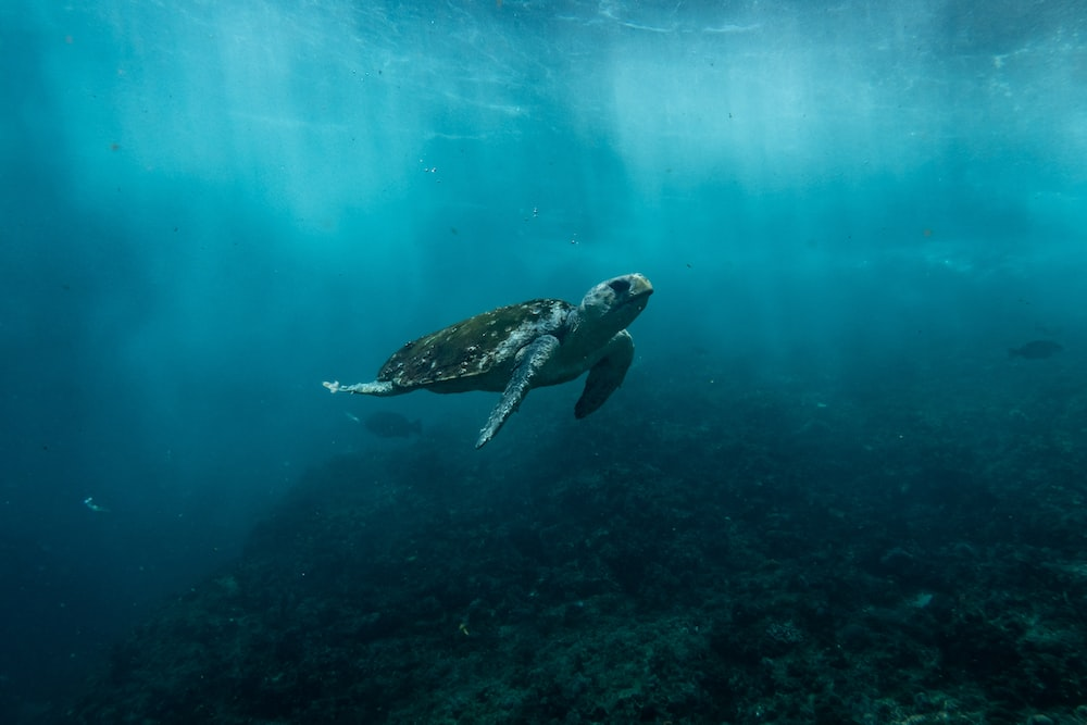 brown and black turtle swimming on blue water