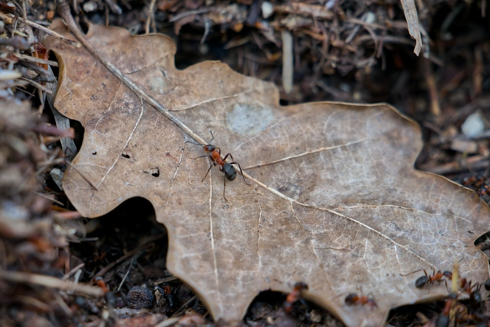 black and red ant on brown dried leaf