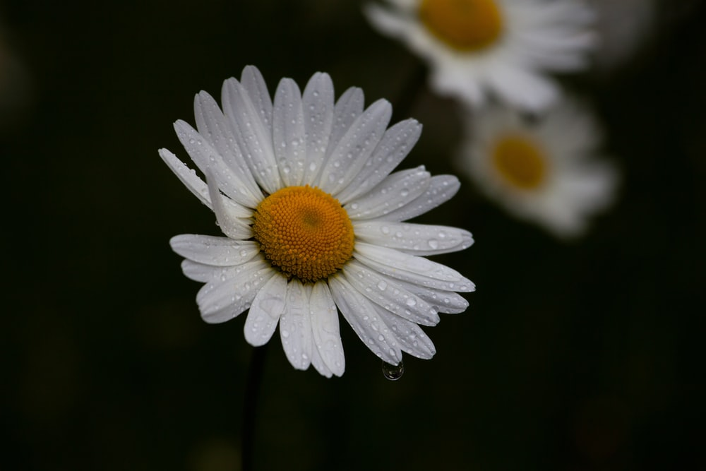 white daisy in bloom with dew drops