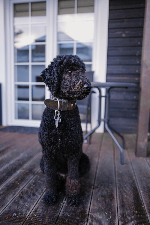black poodle on brown wooden floor