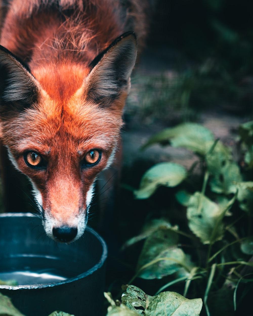 brown fox in green leaves