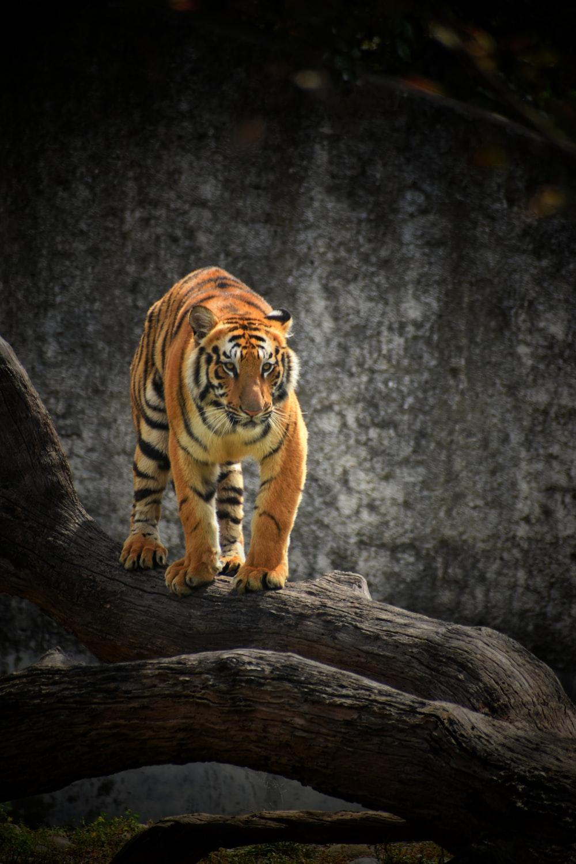 tiger on brown wooden log