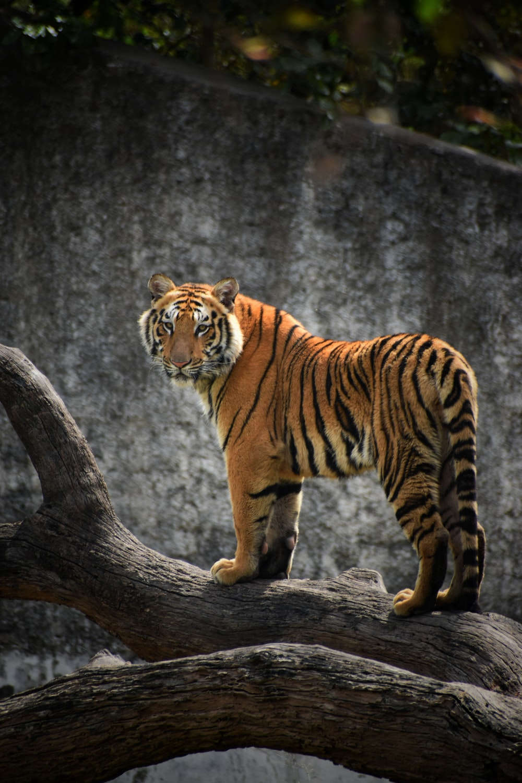 tiger on brown tree log