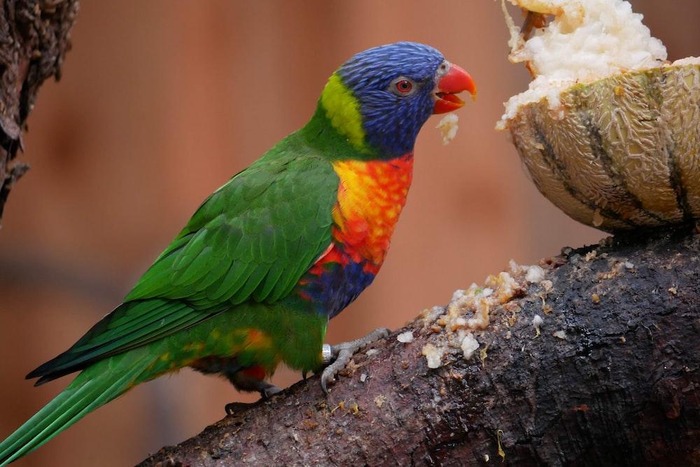 green blue and orange bird on brown tree branch