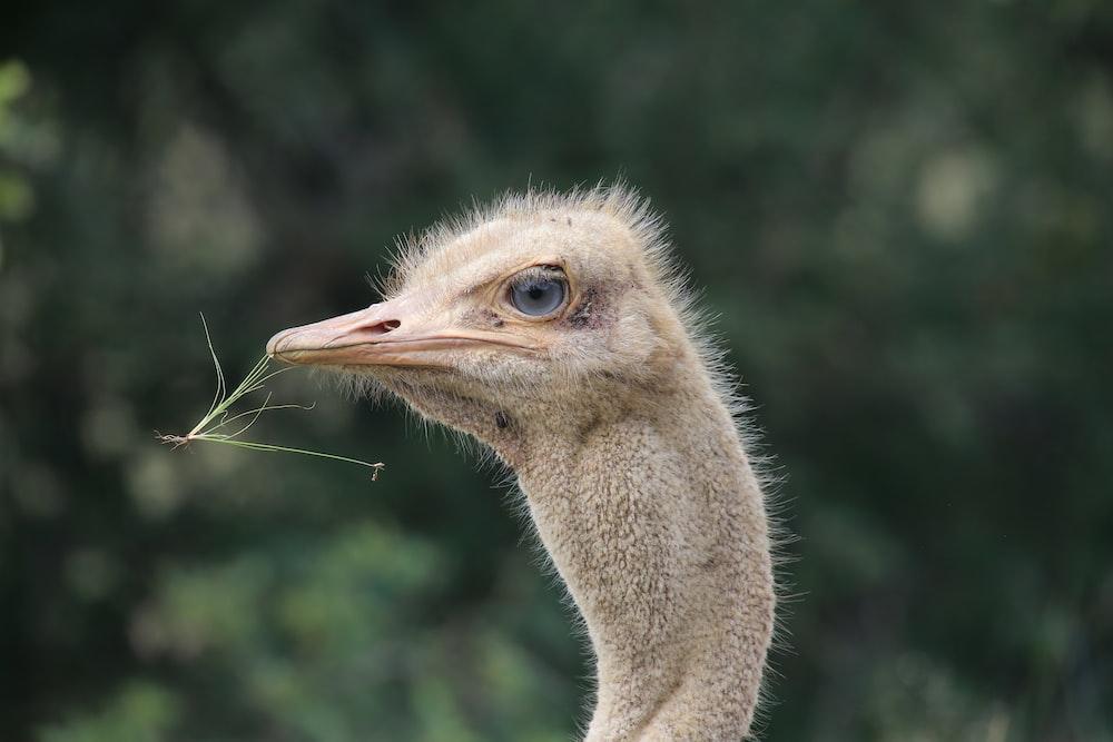 brown ostrich head in tilt shift lens