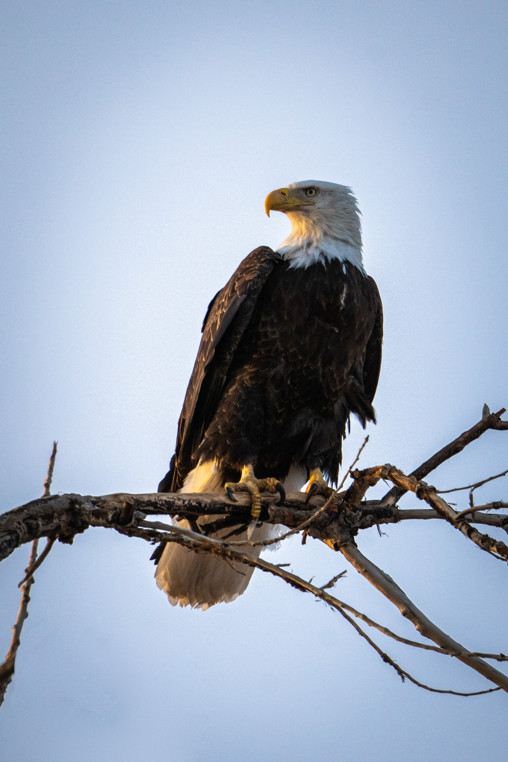 black and white eagle on brown tree branch