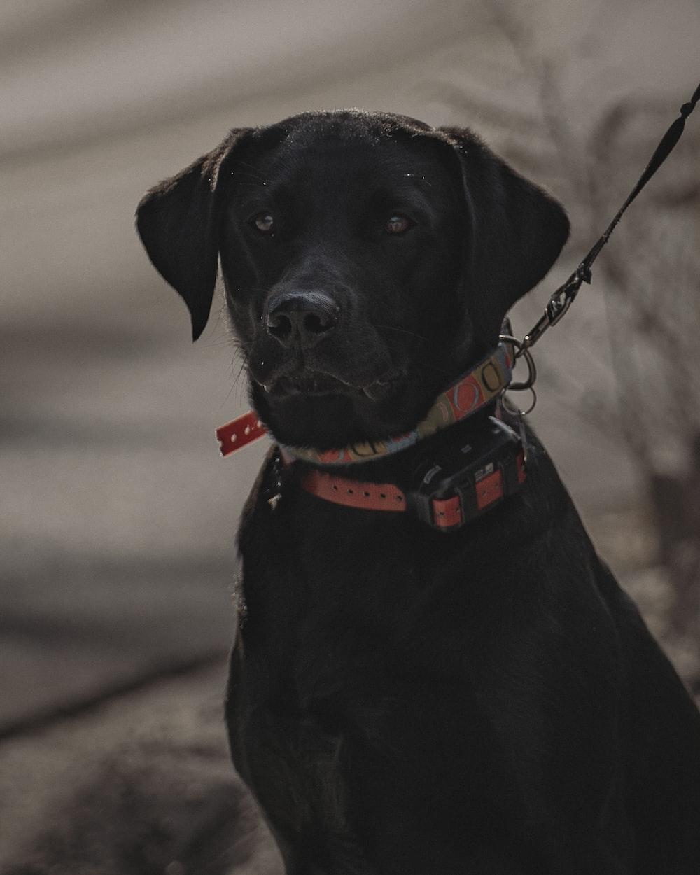 black labrador retriever with red and black collar