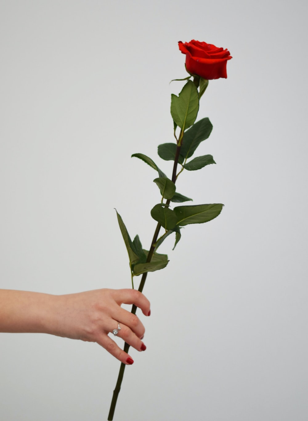 person holding red rose with green leaves