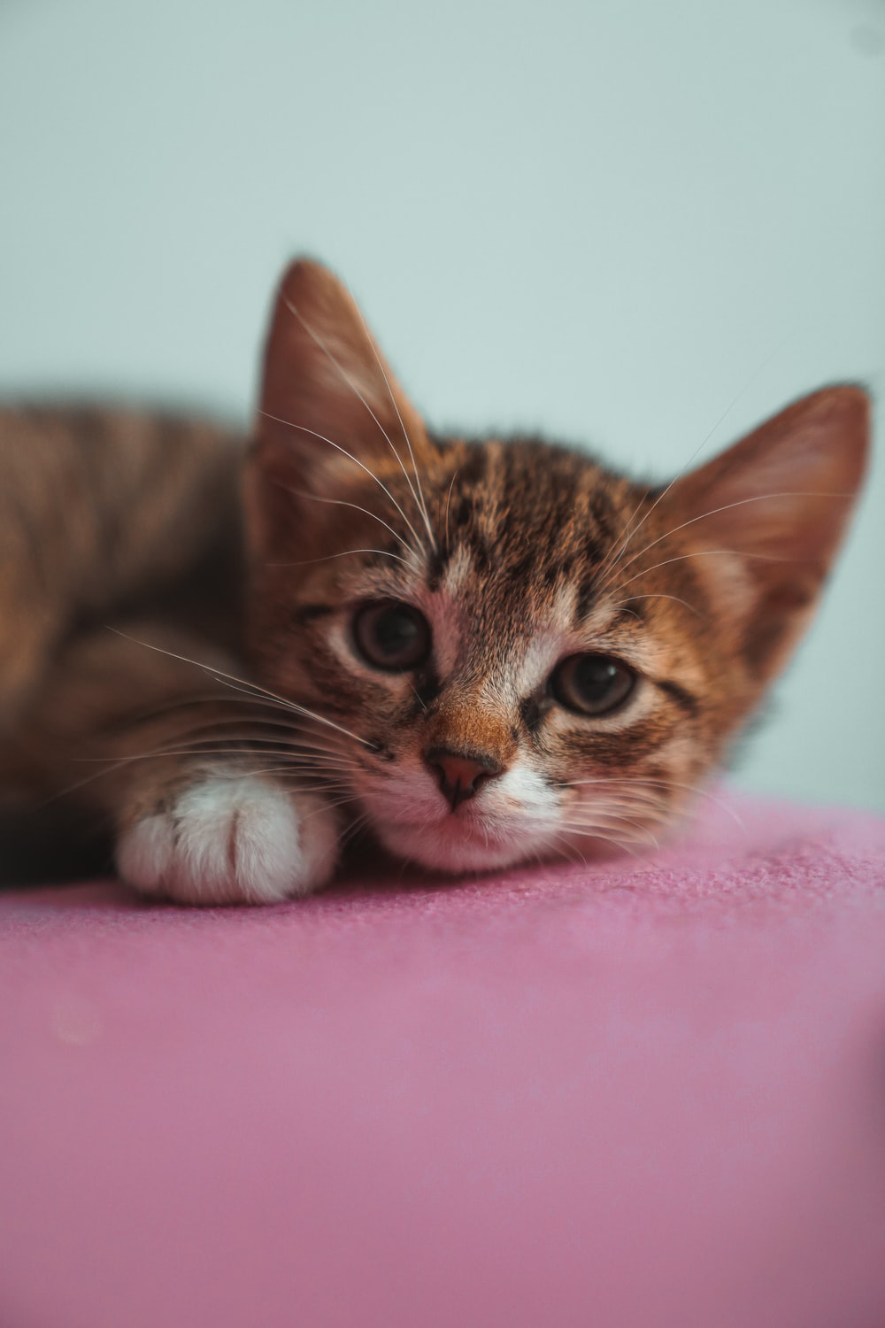 500+ Domestic Cat Pictures [HD]   Download Free Images on Unsplash