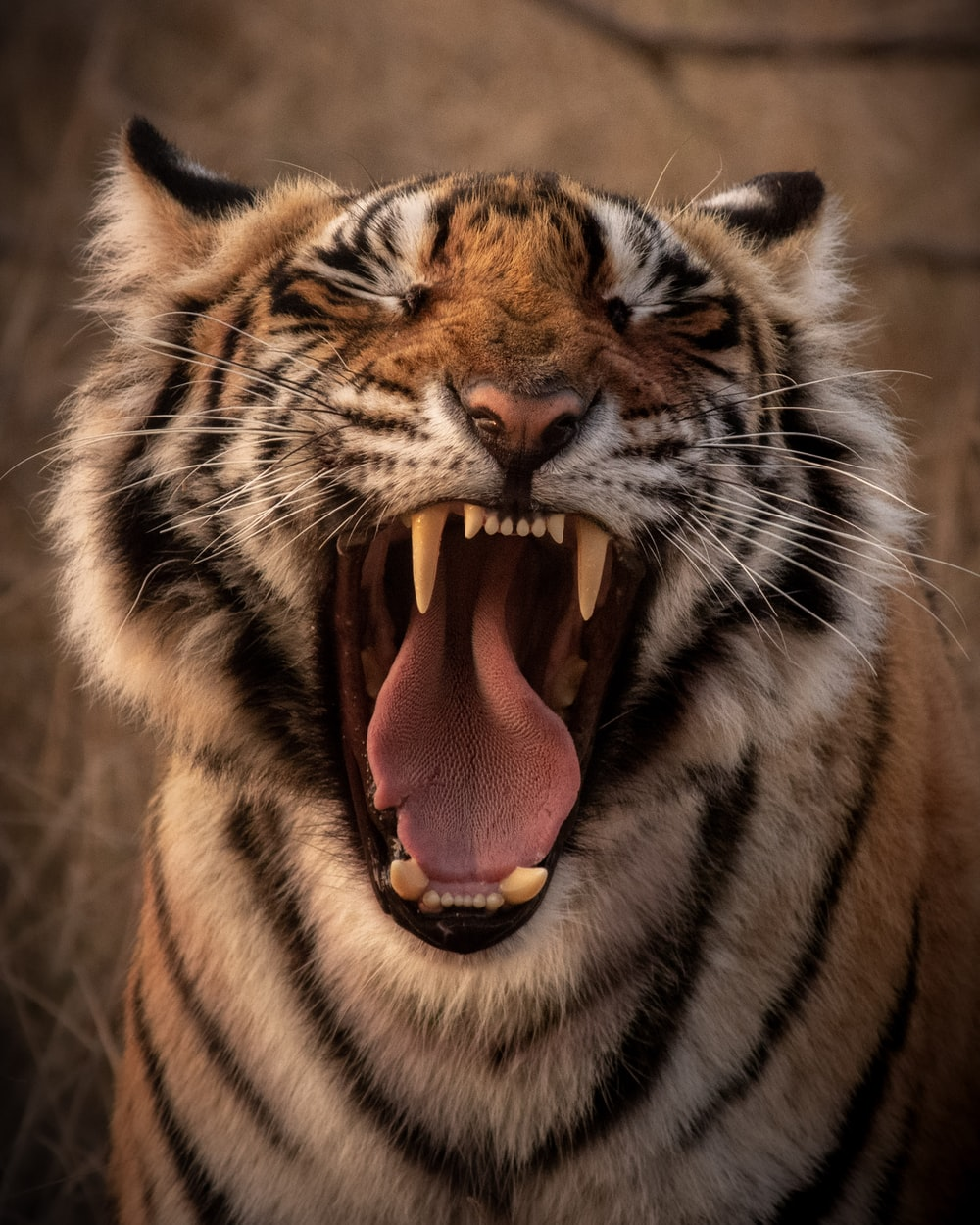 brown and black tiger showing tongue