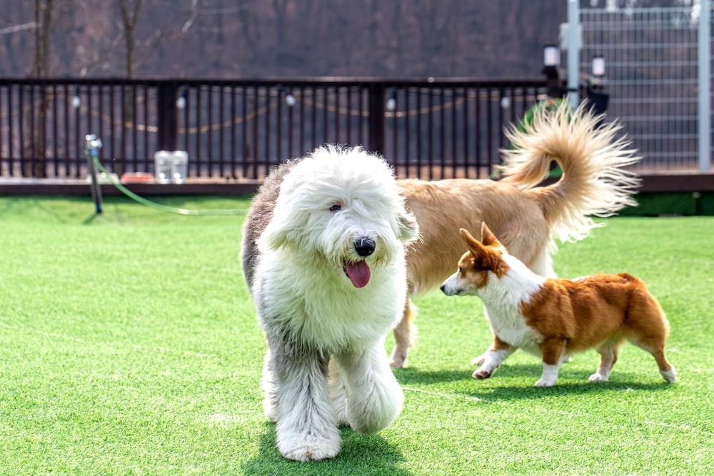 white long coat dog running on green grass field during daytime