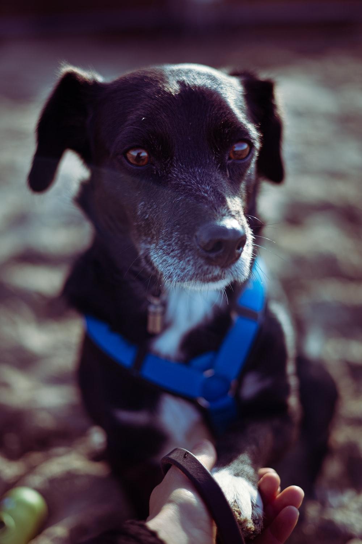 black and white short coat medium dog with blue collar