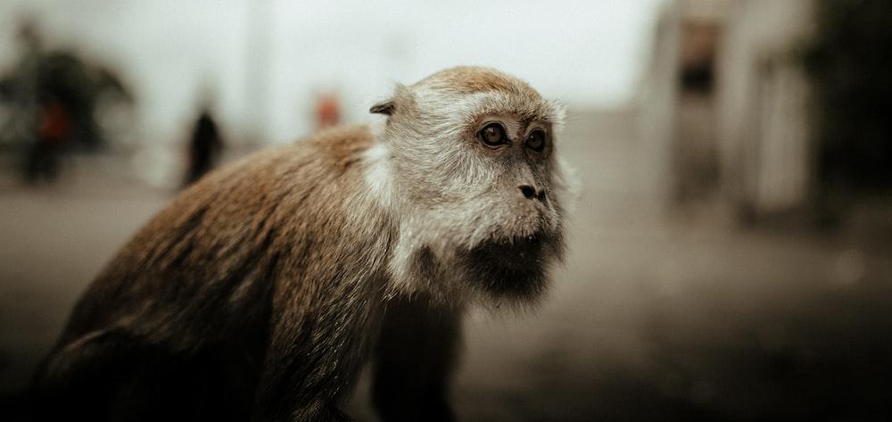 brown monkey in tilt shift lens