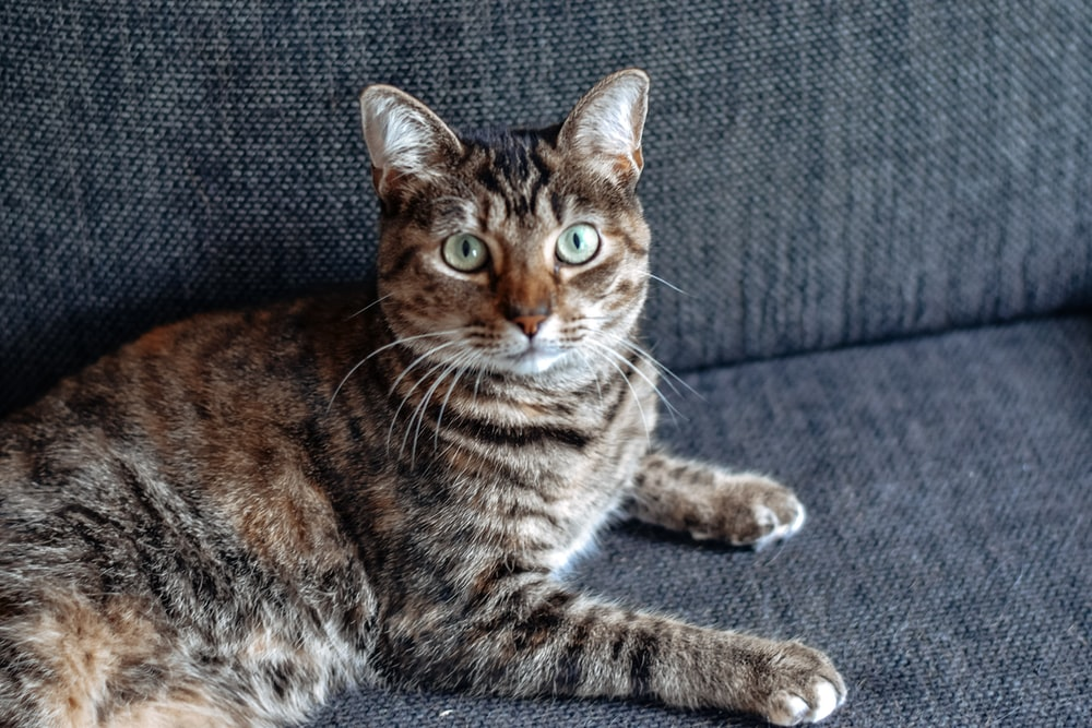 brown tabby cat on gray couch