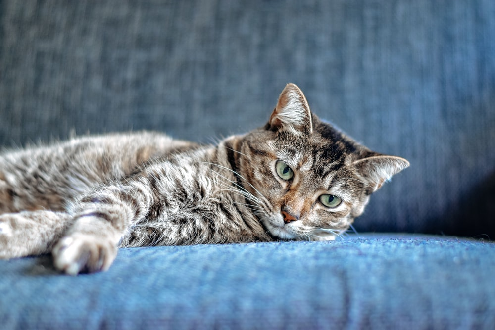brown tabby cat lying on blue textile