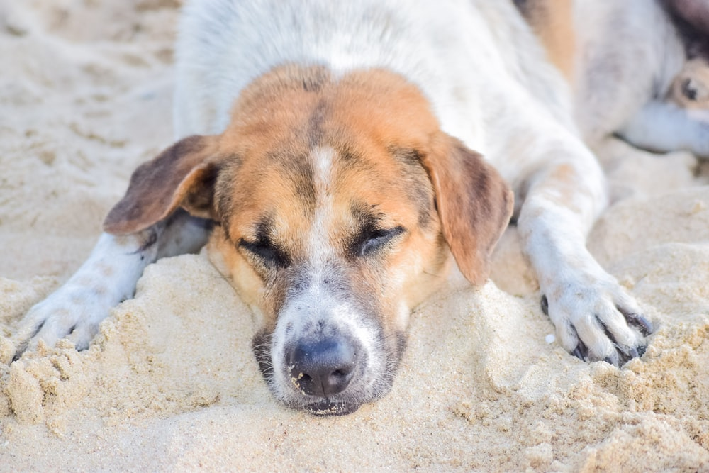 white and brown short coated dog lying on white sand during daytime