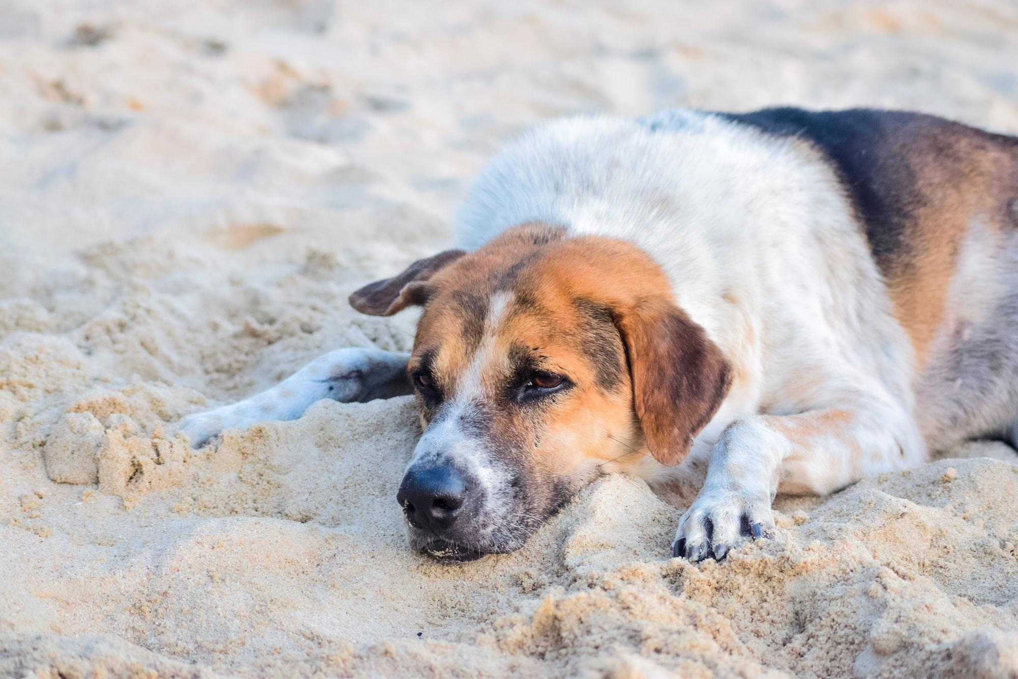beach dog, dog in the sand