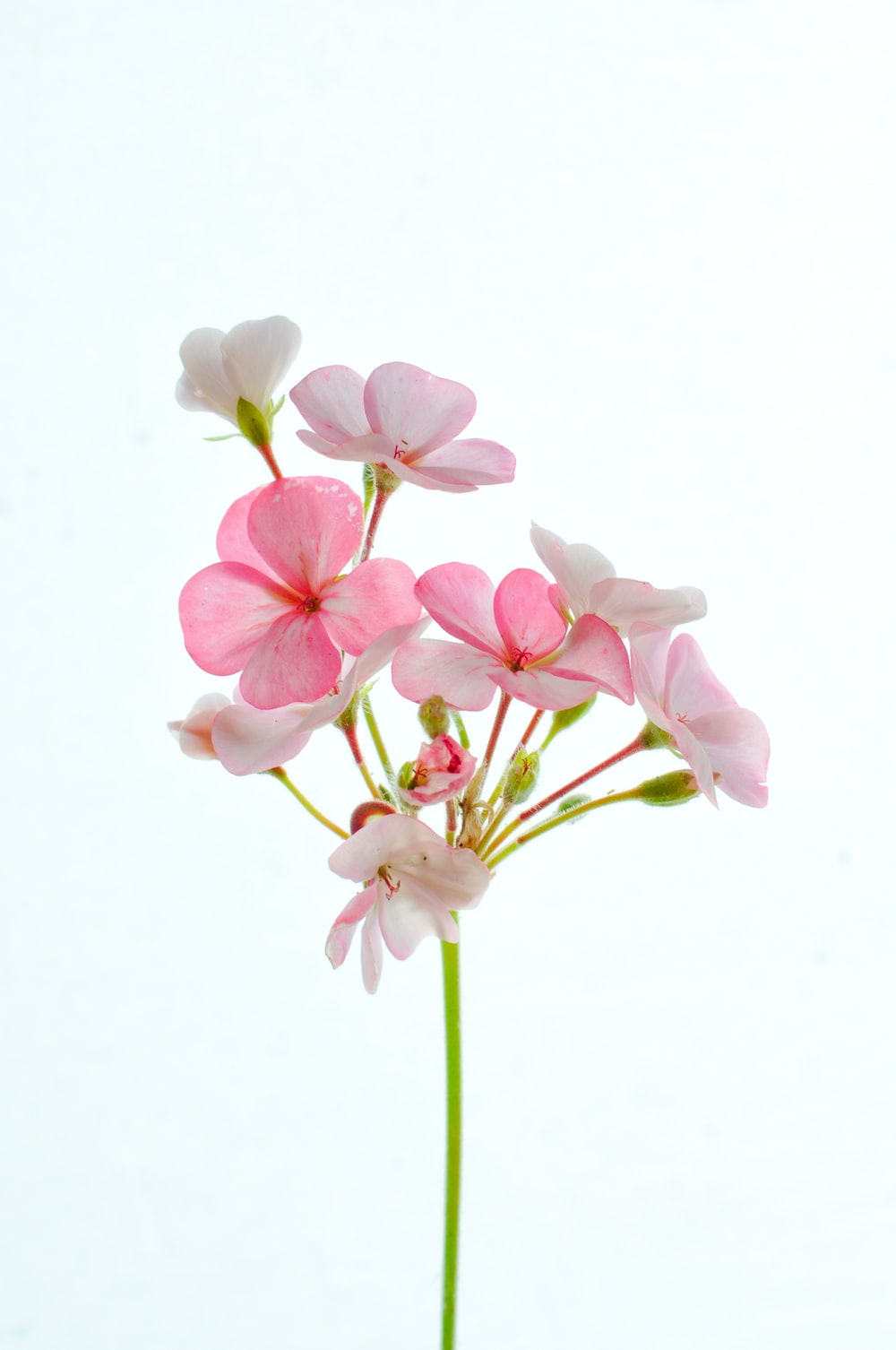 pink and white moth orchids in bloom