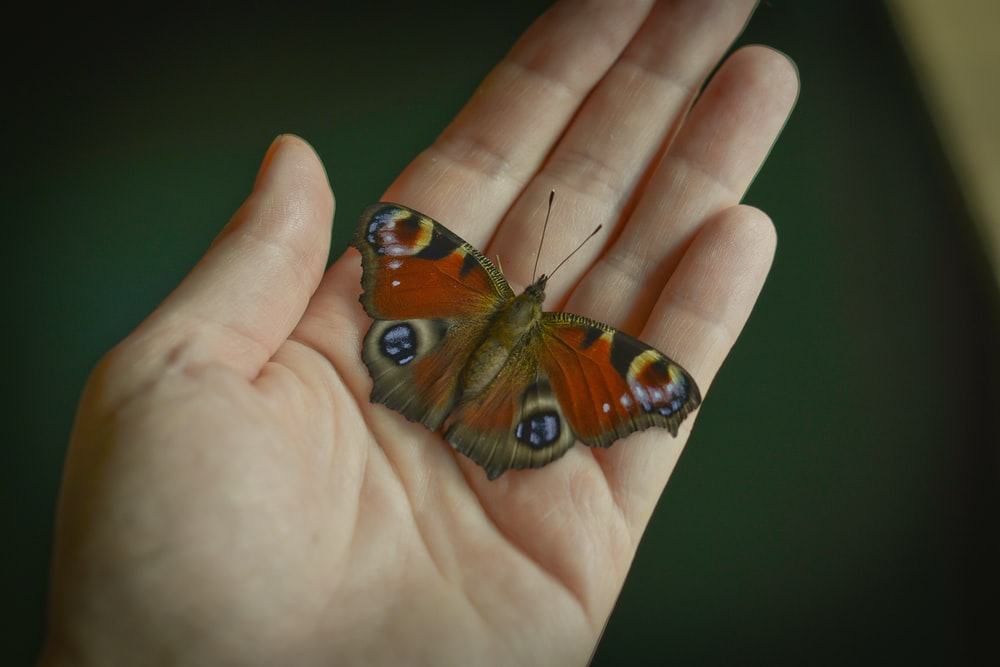 peacock butterfly on persons hand