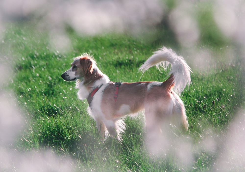 brown and white short coated dog on green grass field during daytime pet wipes