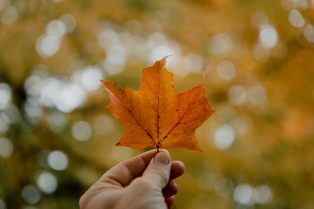 person holding orange maple leaf