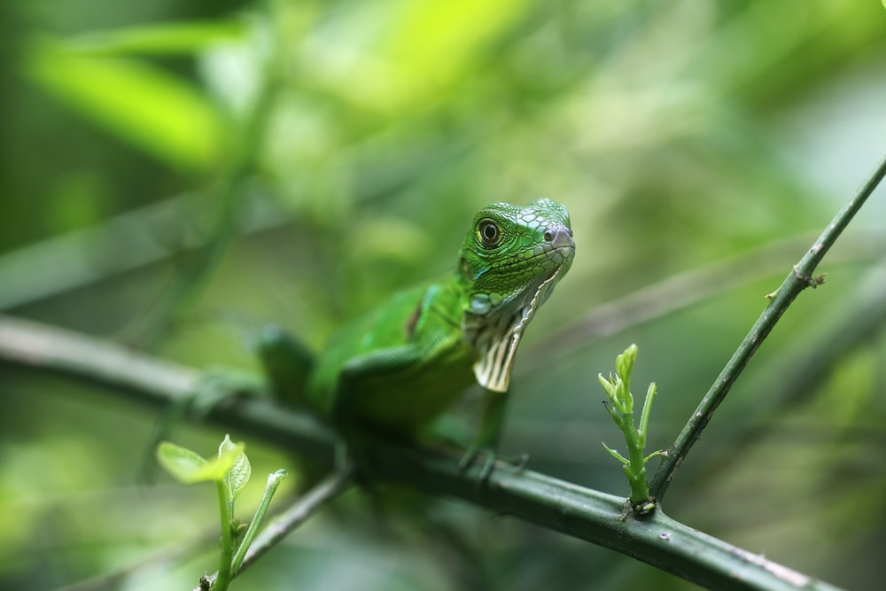 green lizard on black stick