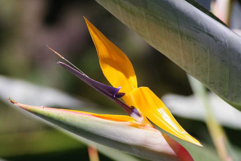 yellow and green birds of paradise in bloom during daytime