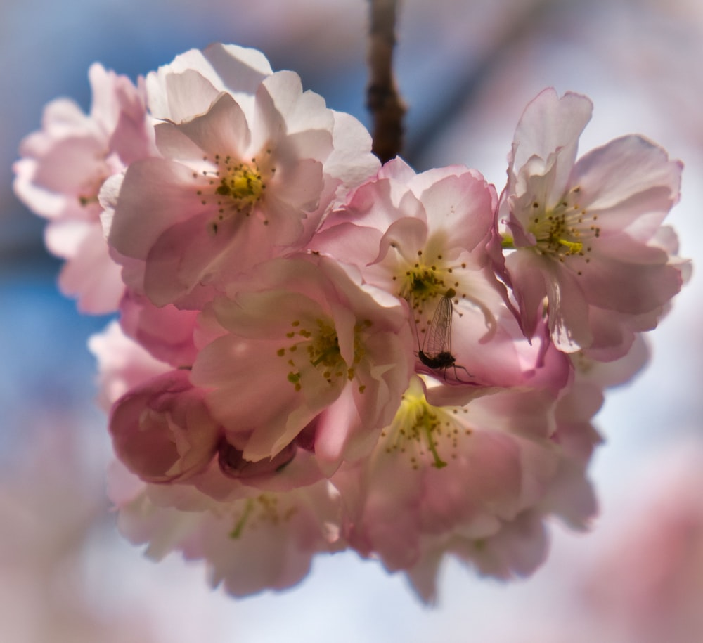 pink and white cherry blossom in close up photography