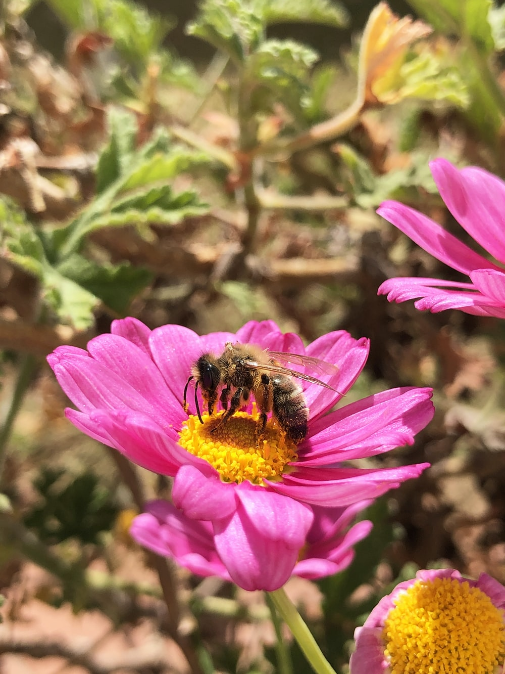 black and yellow bee on pink flower during daytime