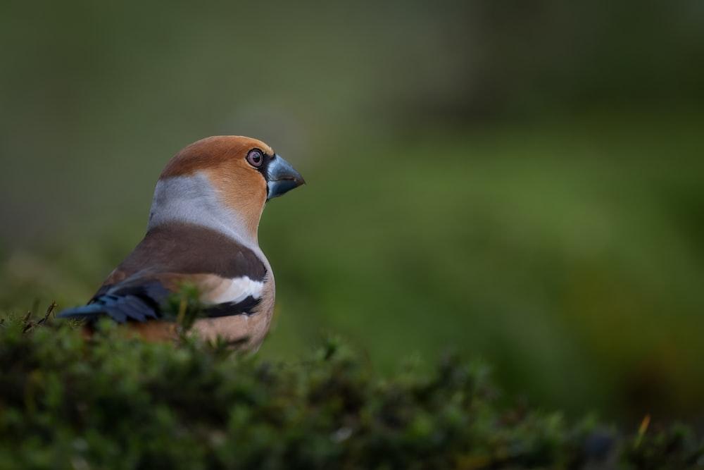 blue and brown bird on green grass