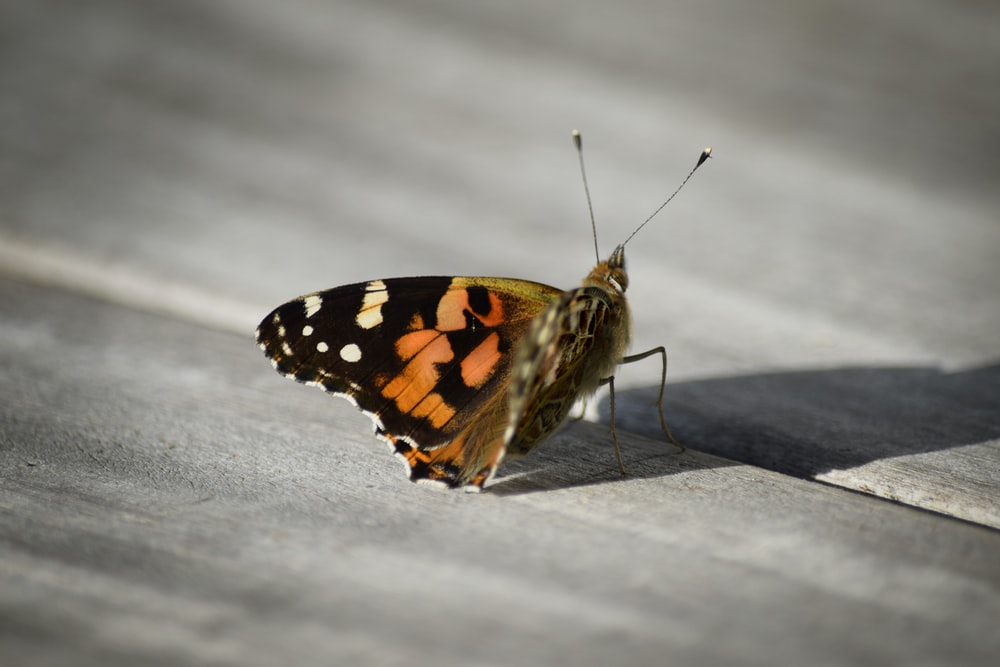 black orange and white butterfly on white snow