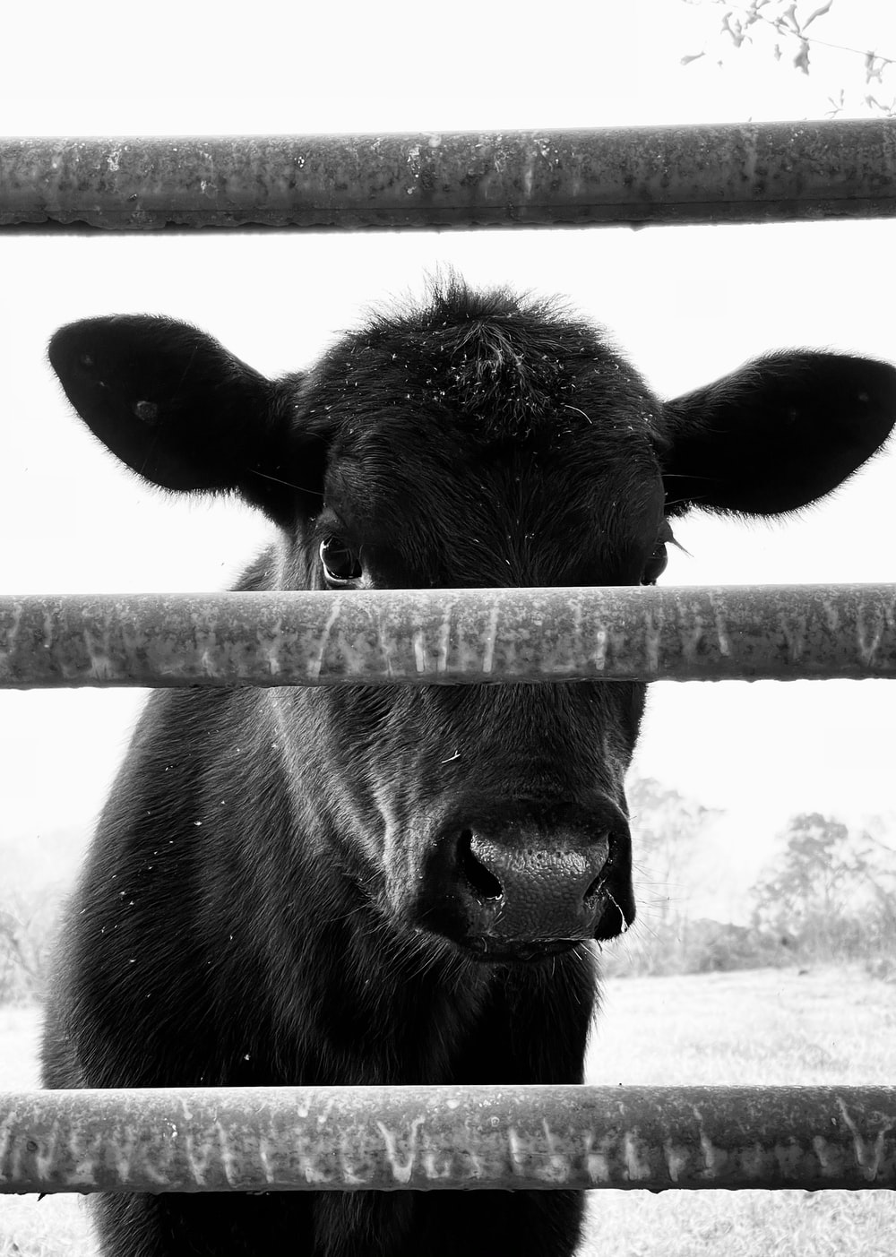 grayscale photo of cow in cage