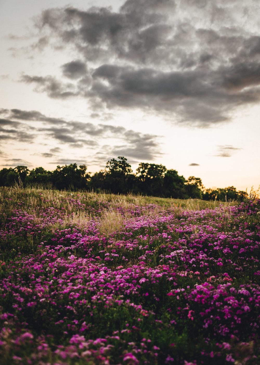 purple flower field under cloudy sky