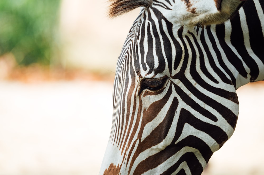 zebra in close up photography during daytime