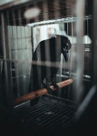 black bird in black cage