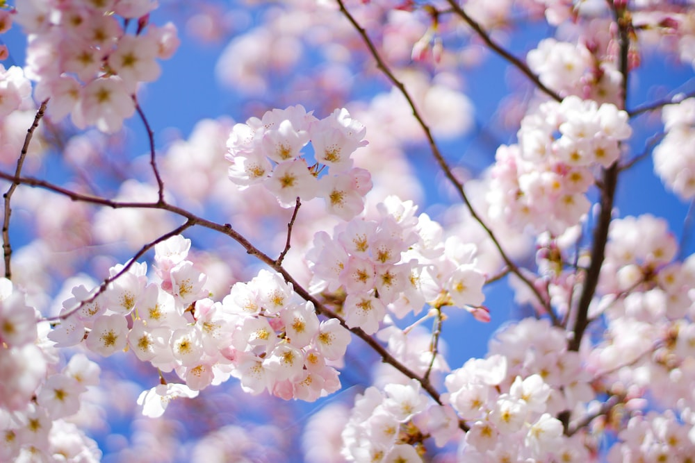 white cherry blossom in bloom during daytime