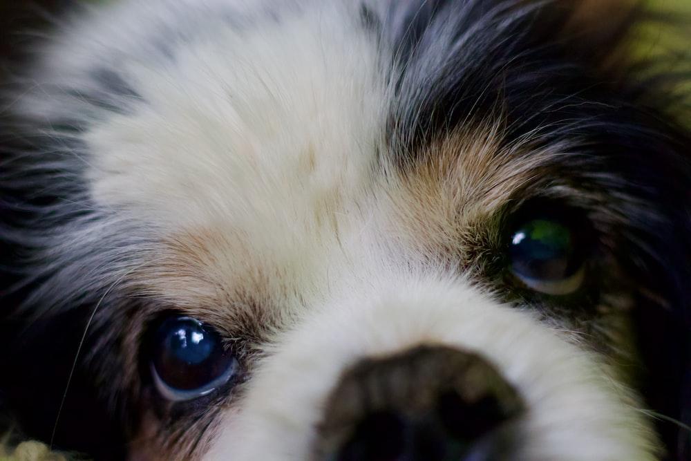 white and black long coated dog