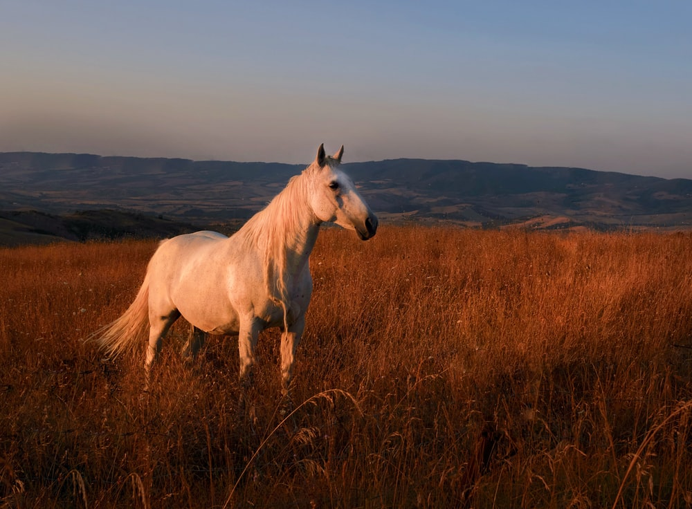 white horse on brown grass field during daytime