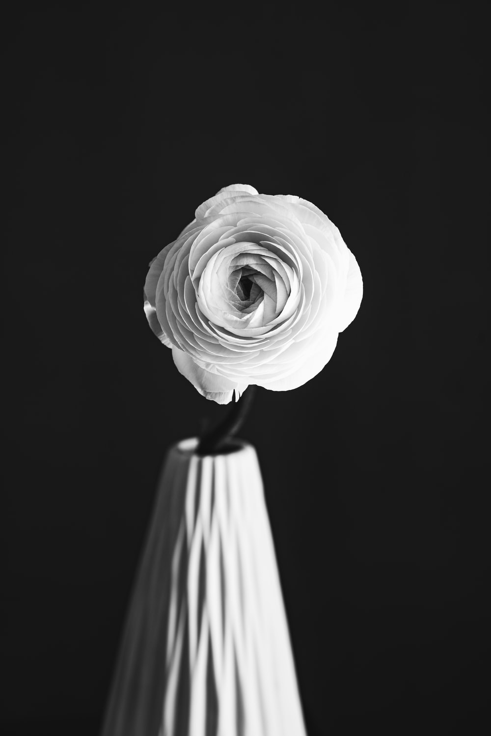 grayscale photo of rose in bloom