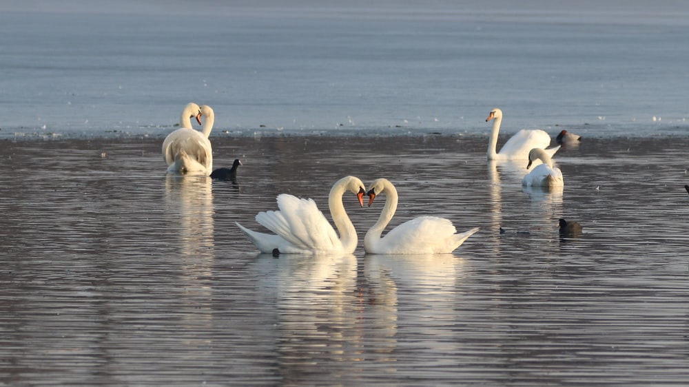 white swans on water during daytime