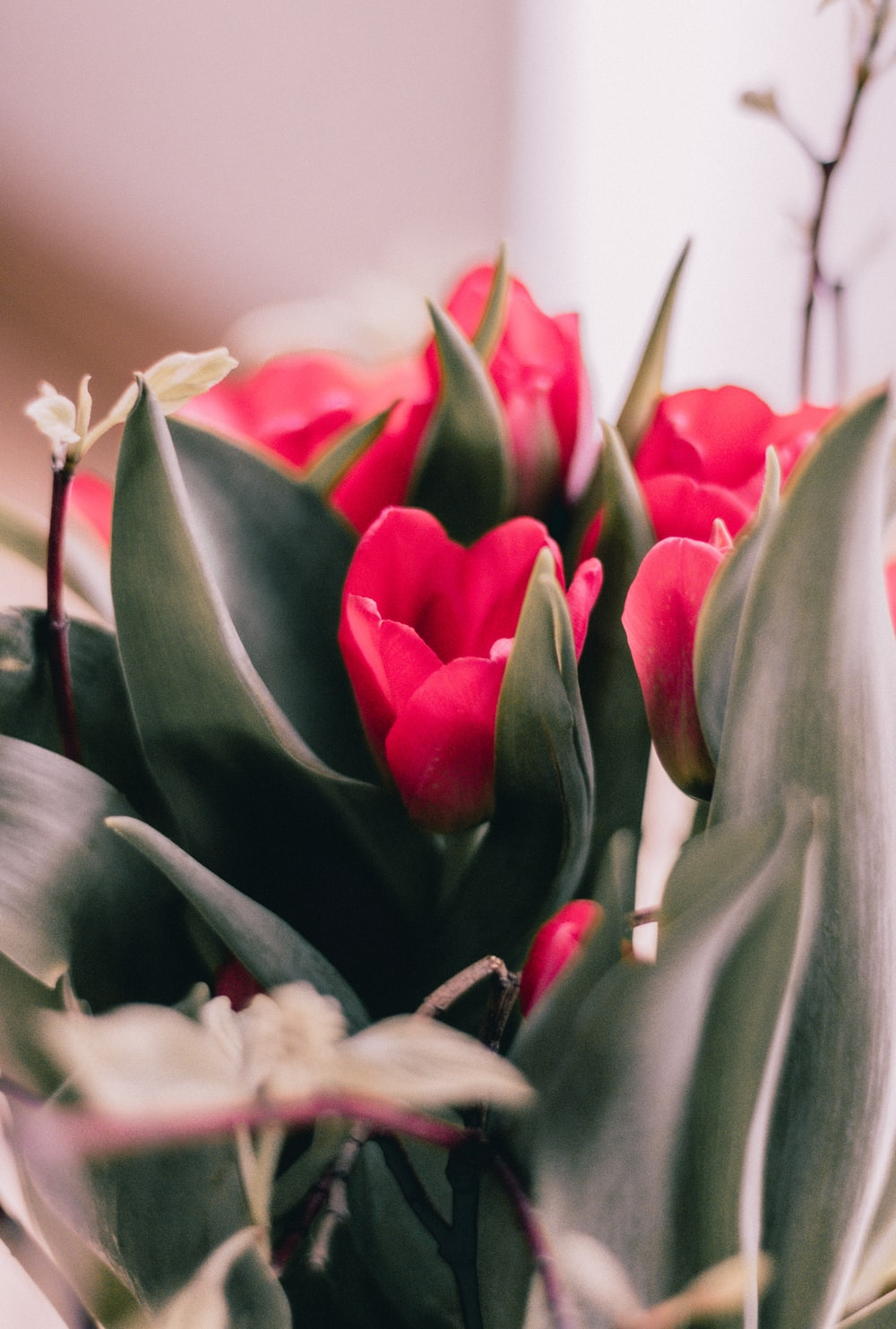 pink and white tulips in bloom