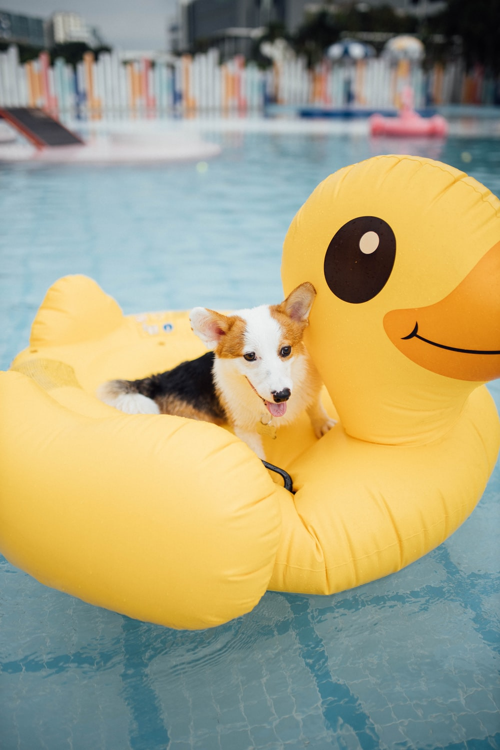 black white and brown short coated dog on yellow inflatable ring