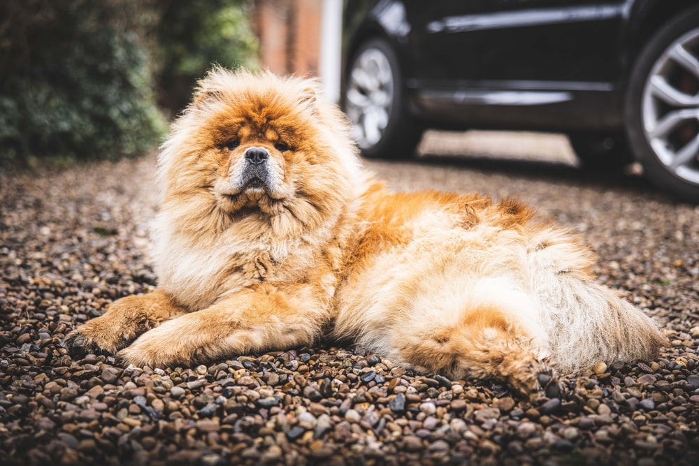 brown long coated dog lying on ground