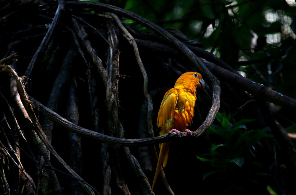 yellow and red bird on tree branch