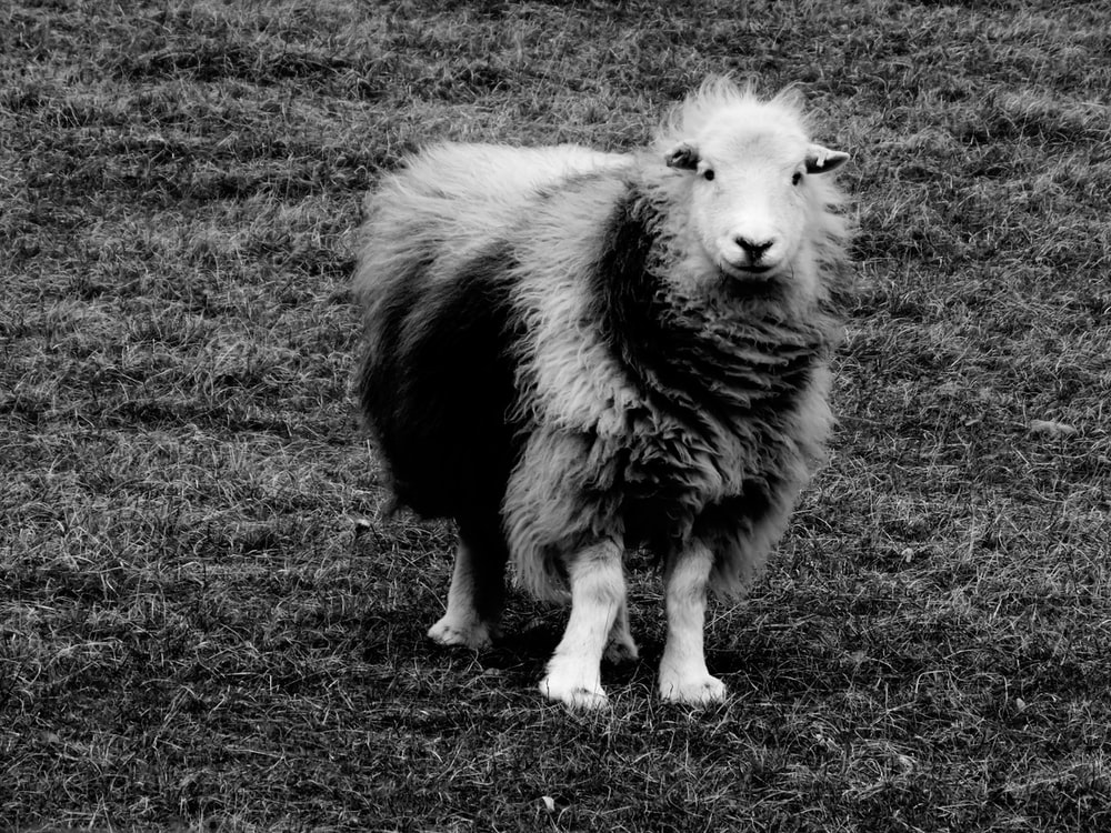 grayscale photo of a cow on a grass field